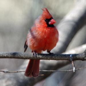 Birds Of Iowa Accipiteridae